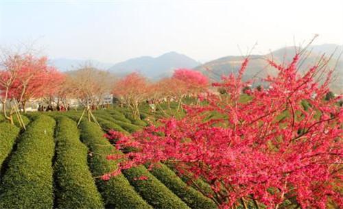福建永福:樱花烂漫迎新春