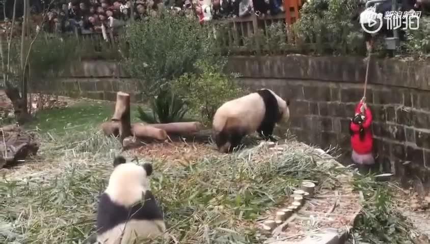 女童掉进熊猫场多只熊猫逼近图片曝光 野生大熊猫吃肉吗