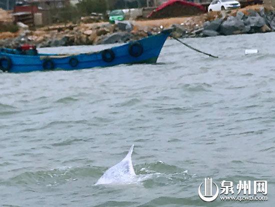 南安石井海域 一次出现6头中华白海豚嬉戏