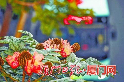 """厦门市冬季气温比常年偏高 不少植物提前开花""""报春"""""""