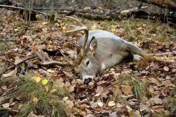美国僵尸鹿病会引发现实版生化危机么? 僵尸鹿照片曝光令人恐惧