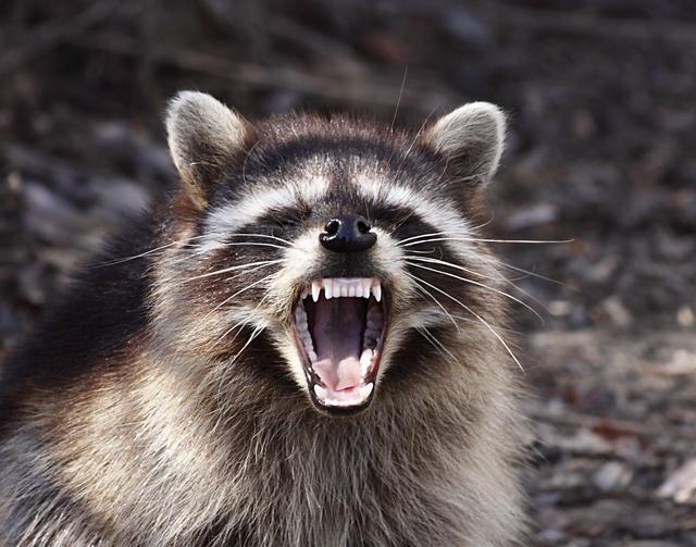 """""""僵尸鹿""""之后!美国再次出现""""僵尸浣熊""""!"""