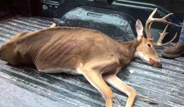 美国丧尸鹿最新视频图片曝光 美国僵尸鹿真的不会感染人类?