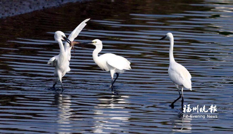 候鸟增多鲜花绽放 闽江河口湿地观鸟赏花正当时