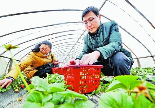 本地第二批草莓大量上市 草莓价格大跳水仅为节前三成