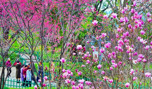 乌山进入最美赏花季 桃花盛开樱花怒放