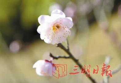 将乐梅花谷:379种、5000多株梅花暗香浮动
