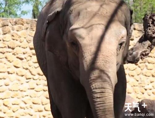 世界最孤独的大象去世是什么情况 为什么被称作世界最孤独的大象