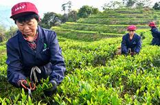 漳平水仙:小众茶也能大发展