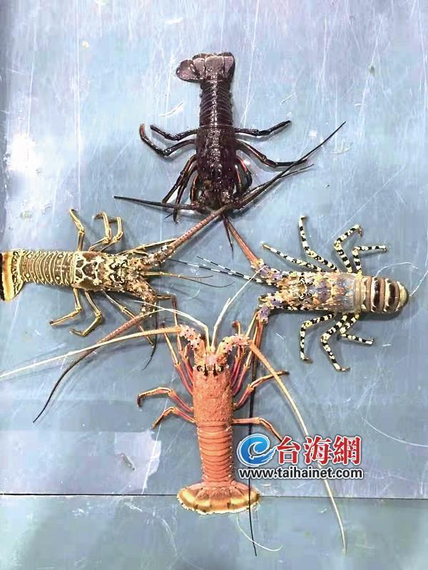 厦门海鲜市场进口龙虾哪只更生猛(图)