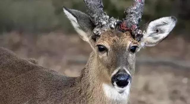 僵尸鹿病到底是什么病 僵尸鹿病会迎来生化危机么 如何预防?