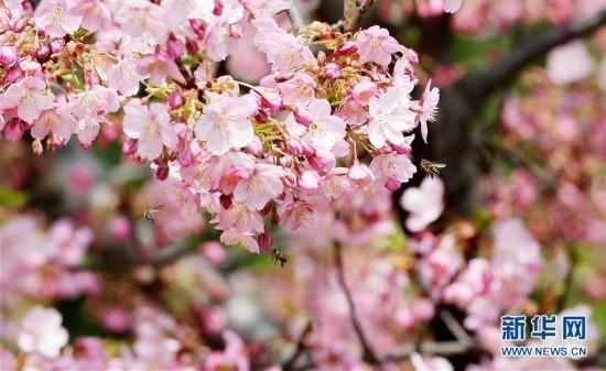 上海:春梅早樱挂枝头