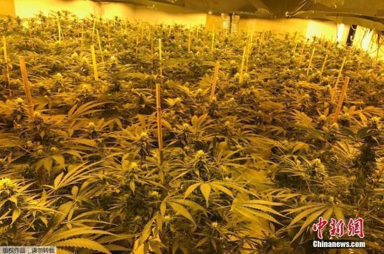 华人被骗到西班牙做大麻种植工 大多数处境艰难