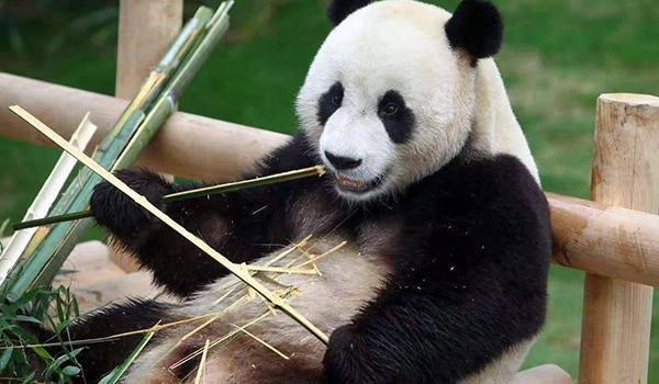 熊猫雄雄和融融明年或将到高雄 市府:在做迎接准备