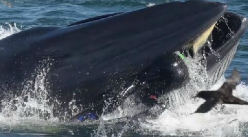 潜水员被鲸鱼吞入瞬间照片曝光 潜水员被鲸鱼吞入怎么存活的