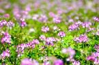 德化美湖:百亩紫云英盛开 仿若紫霞落人间