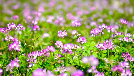 德化美湖:百畝紫云英盛開 仿若紫霞落人間