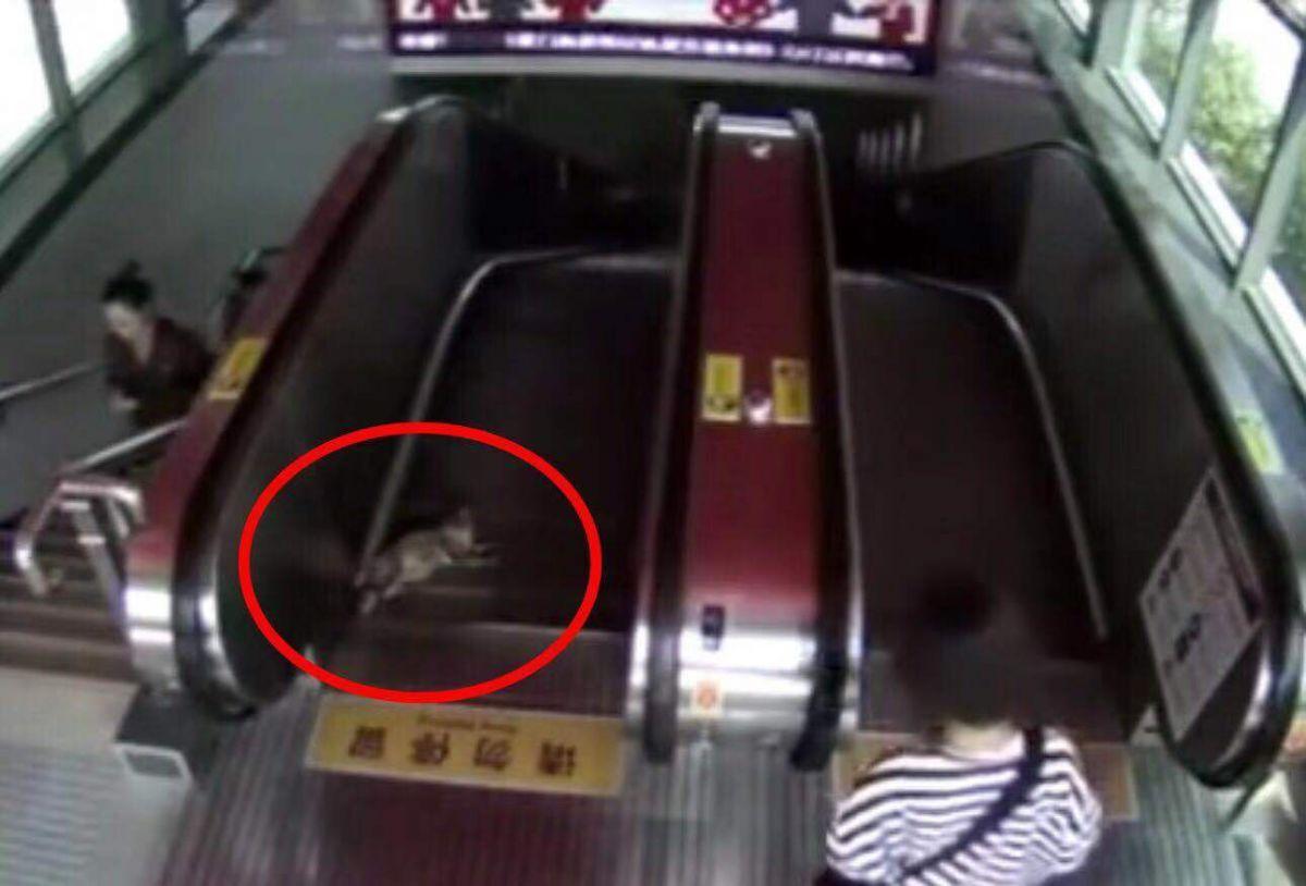 流浪猫误入厦门地铁电扶梯双腿被卡 工作人员和乘客合力救助