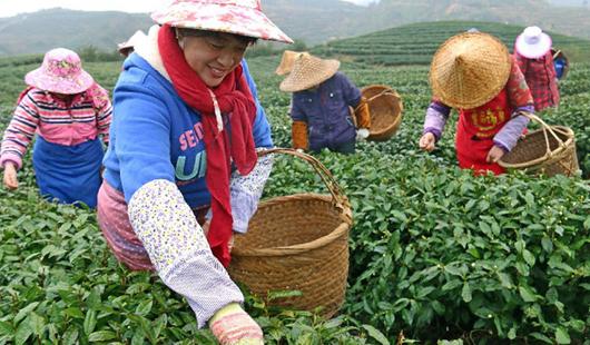 """彩票166霞浦:茶农忙采""""元宵茶"""""""