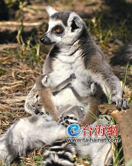 """厦门一只濒危环尾狐猴生了""""龙凤胎"""""""