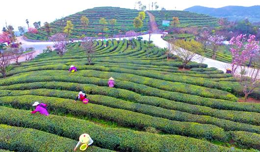 福建福鼎:茶产业助力乡村振兴百姓致富