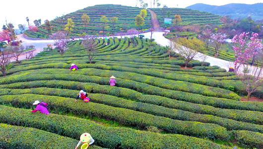 福建福鼎:茶產業助力鄉村振興百姓致富