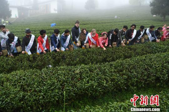 外籍留學生重慶學習采茶制茶 感受中國茶文化