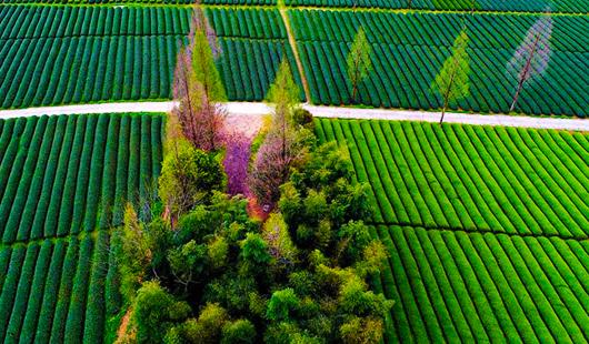 福建武夷山:生态茶园 静待采摘