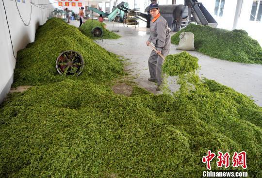 福州连江:产茶重镇 畲族村民采茶忙