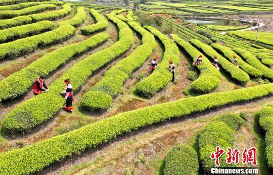 福州连江天气_福州连江:产茶重镇 畲族村民采茶忙