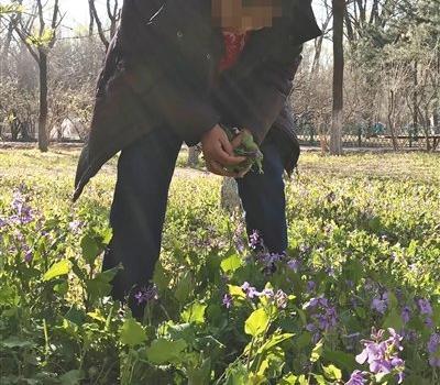 北京挖野菜大军什么梗,北京挖野菜大军怎么回事公园方这样回应