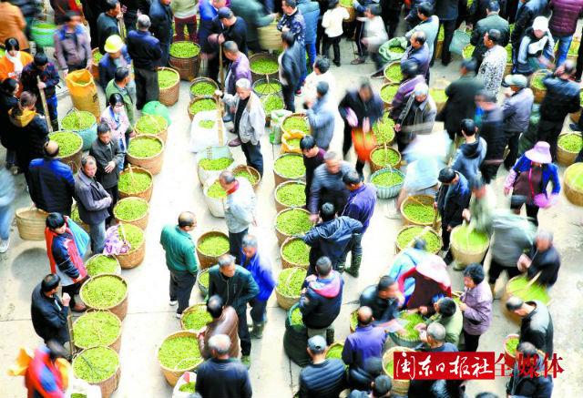 福鼎白茶茶市交易红火 买茶卖茶成为一道亮丽的风景