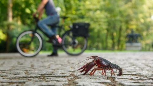 [德国小龙虾泛滥成灾是怎么回事]德国小龙虾泛滥成灾是真的吗 德国小龙虾没人吃吗