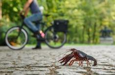 德国小龙虾泛滥成灾是真的吗 德国小龙虾没人吃吗