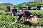福建福鼎:白茶产地 春茶飘香