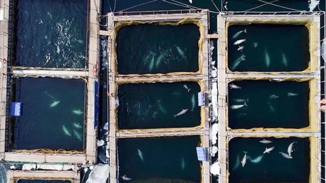 俄罗斯现鲸鱼监狱怎么回事?|俄罗斯现鲸鱼监狱怎么回事? 百头鲸鱼锁在小水池目的是什么