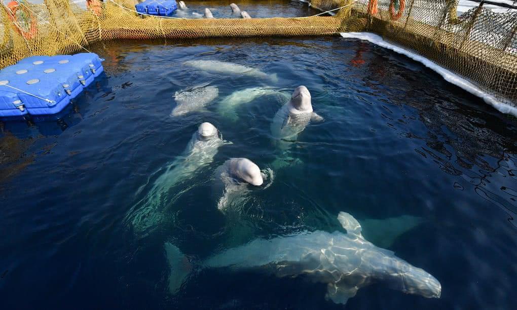 俄鲸鱼监狱遭抗议怎么回事 鲸鱼监狱是什么关押了多少鲸鱼