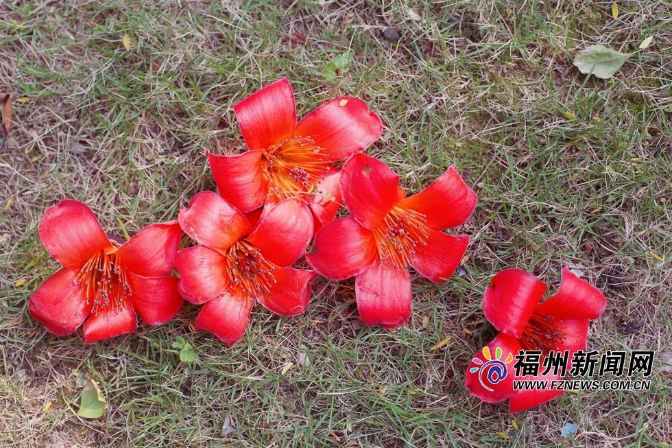 福州木棉花|福州:木棉花的春天