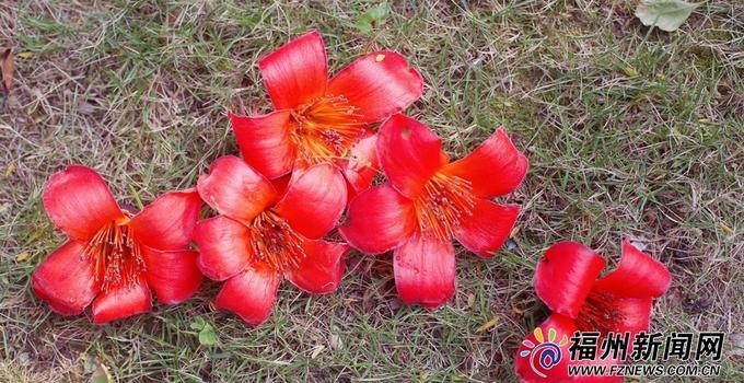 福州:木棉花的春天