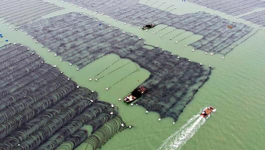 福建霞浦:30余万亩养殖海带进入收获季