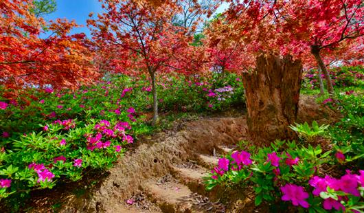 福州:快乐园内有春色 枫叶映红四月天