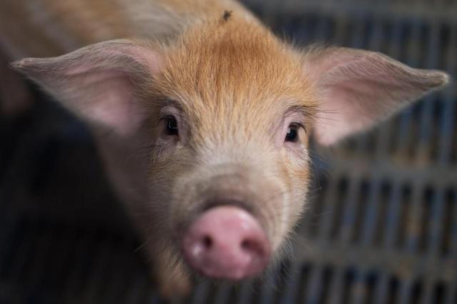 领养小猪做成罐头什么情况 领养的宠物吃了有什么罪