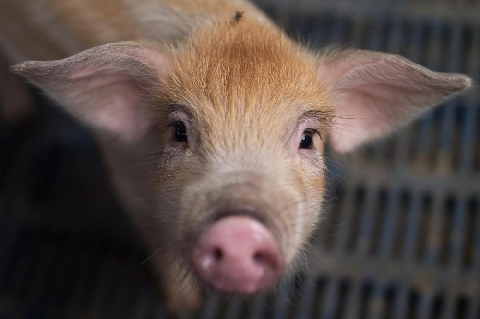 领养小猪做成罐头事件始末 领养小猪做成罐头主人获刑原因揭秘