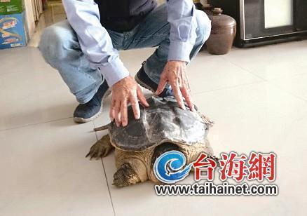 厦门筼筜湖边捡到一只鳄鱼龟 厦门林业部门提醒: 鳄鱼龟不能随意放生