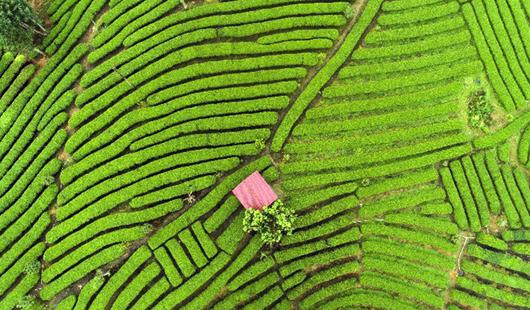 武平绿茶:茶旅融合带动品牌升级