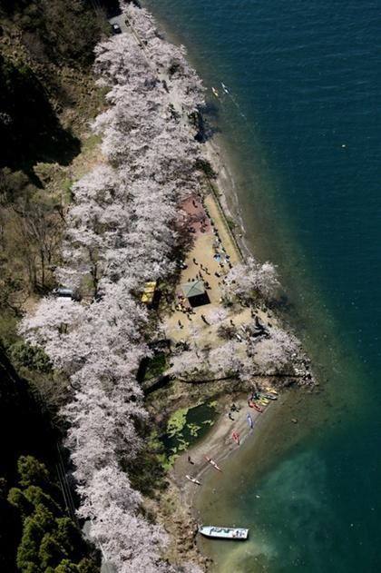 日本琵琶湖沿岸樱花隧道迎来满开 与湖水相映成辉