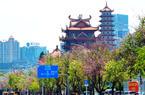福州工业路羊蹄甲绽放 又迎一年最美风景期