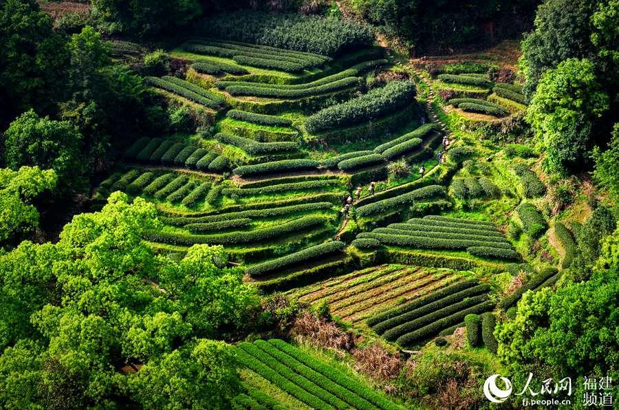南平武夷山實行認標購茶 引導消費者選購放心武夷茶