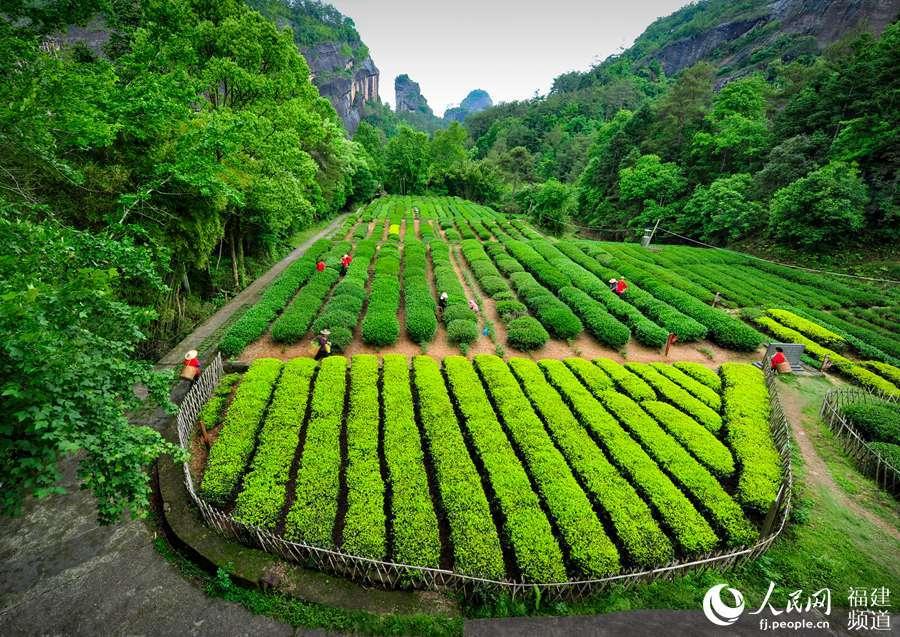 南平武夷山实行认标购茶 引导消费者选购放心武夷茶