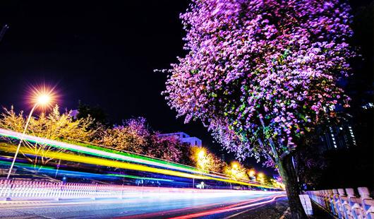 春夜赏花浪漫满路 羊蹄甲下优美宜人